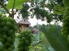 Winery and Grape Vines.  First Vineyard Winery, a Kentucky winery.