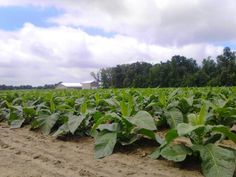 Tobacco plants...wonderful sight!