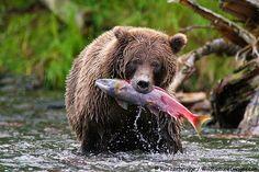 Resultado de imagen para oso pescando