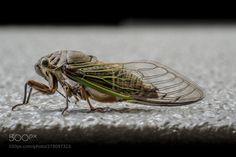 Portrait of a Young Cicada - Cicada (about 5cm length) on a wall Osaka Japan