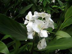 A Mariposa Lily, Cuba's national flower, along the Sendero La Batata trail.