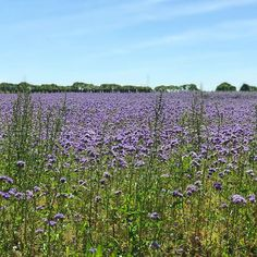 Field of lacy phacelia (I looked it up!) on my holidays in #Brittany #bretagne #fieldofflowers #stmalo #purpleflowers #wildflowers #frenchholiday