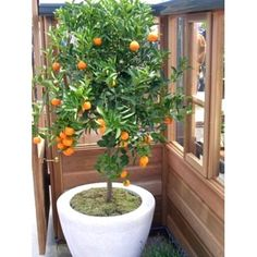 cumquat tree - Google Search