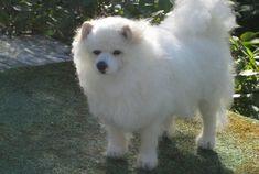 Extra Large Needle Felted Dog / Samoyed Custom by GourmetFelted