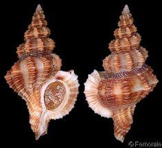 Trajana perideris  (Dall, W.H., 1910)  Round-mouth/Acapulco Trajana  Shell size  18 - 30 mm  S Sea of Cortèz, W Mexico - Panama
