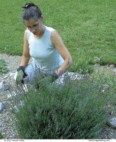 Pruning Subshrubs