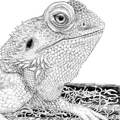 Type of lizard called a Bearded Dragon. I love drawing reptiles!