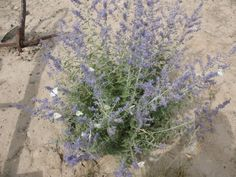Russian Sage Care: Tips For Growing Russian Sage Plant.. This is my favorite sage plant.. it smells so good and the flowers add a touch of color and.. it comes back year after year..