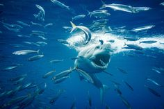 A great white shark searches for dinner off Guadalupe Island in this National Geographic Your Shot Photo of the Day. Photographie National Geographic, National Geographic Photography, National Geographic Photo Contest, National Geographic Travel, Beneath The Sea, Under The Sea, Florida Keys, Lofoten, Shark Images