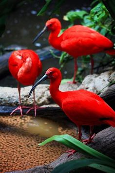 Tupi 'red bird,' also known as the scarlet ibis, one of the most beautiful Brazilian birds Pretty Birds, Love Birds, Beautiful Birds, Animals Beautiful, Simply Beautiful, Tropical Birds, Exotic Birds, Colorful Birds, Flock Of Birds