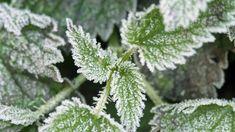 Jícha neboli zákvas, jak přírodní hnojivo připravit doma? Herbs, Herb