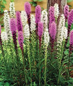 We are delighted to offer two exciting Liatris spicata varieties that produce masses of showy flowers spikes contrasting with grassy-green foliage. The bottle-brush flowers open from the top downwards in magnificent shades of mauve and white. Fall Plants, Garden Plants, Herb Gardening, Garden Bed, Organic Gardening, Summer Bulbs, Spring Bulbs, Spring Hill Nursery, Astilbe
