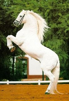 The Lipizzaner horse is the famous Spanish Riding School of Vienna, Austria, in whose stables are held exhibitions of high school. These athletic gray horses are so suitable for this discipline who travel around the world to showcase their exhibits, but also are excellent hitch horses.