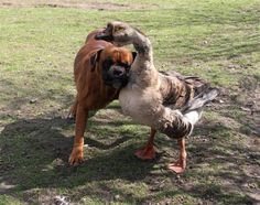 21 Facts about Dogs Fact Baks the blind boxer has a seeing eye goose named Buttons. Buttons the four-year-old goose leads her pup around everywhere either by hanging onto him with her neck, or by honking to tell him which way to go. Beautiful Creatures, Animals Beautiful, Cute Animals, Dog Facts, Weird Facts, Animal Pictures, Funny Pictures, Unlikely Friends, Odd Couples