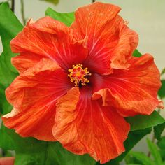 Exotic Hibiscus 'Orange Pekoe'