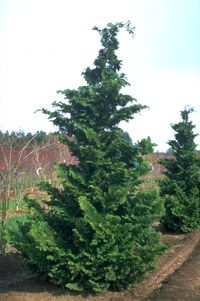 hinoki cypress -slow grower, 15 ft tall/5 ft wide. http://landscaping.about.com/od/evergreenornamentaltrees1/p/hinoki_cypress.htm