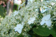 Hortensia! Ønsker mig en stor smuk klatrehortensia i hvid som på billedet og en hæk af sart lyserøde hortensia langs muren på mit kommende hus.