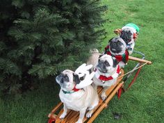 christmas pugs. It amazes me how well some pugs cooperate. Mine are never so accommodating! ;)