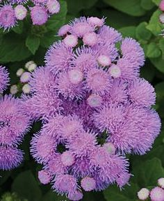 Ageratum houstonianum 'Blue Danube' Floss Flower  | A