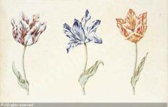 DUTCH SCHOOL,Three tulips: Viceroy, Purper en wit van jeroen and Isabelle,Sotheby's,London