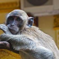 Macaque monkey in Thailand. Trueworldtravels.com