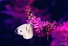 Beauty in the dark  © Zaubergrafie Photoart /  All Rights Reserved  ☆ Feel free to like / comment / share ☆ #flowers   #photoart   #dream   #photography   #fotografie  #zauberhaft #zaubergrafie #magical   #nature   #blumen   #blüten   #colorful #schmetterling #insect #insekt #butterfly #macro   #makro   #bokeh