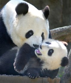 Bai Yun and her son Xiao Liwu at the San Diego Zoo on March 6, 2013.  © Stinkersmell.