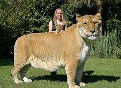Ligre: Cruza entre leão e tigre, fotos e vídeos