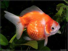 goldfish are so cute!