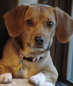 successfully adopting a rescue Daphne a old beagle/dachshund Dachshund Mix, Beagle Mix, I Love Dogs, Cute Dogs, Seconde Chance, Best Guard Dogs, Crazy Dog Lady, Adoptable Beagle, Super Cute Animals