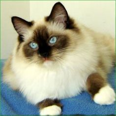 I have a seal mitted Ragdoll cat named Mia! Love her to pieces!