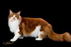 GC, NW Maine Lvrs King-of-Hearts 3rd Best Cat in Championship Red Tabby-White Maine Coon Male