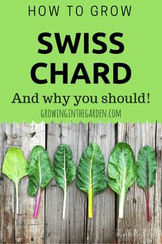 Vegetable gardening is a great way to have fresh vegetables at home that are good to eat. Learn how to grow swiss chard and 3 reasons why you should #gardening #gardeningtips #vegetable #vegetablegardening