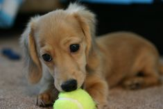 Winnie - the English Cream Long Haired Miniature Dachshund with her miniature tennis ball. Cream Dachshund, Dachshund Breed, Dachshund Funny, Long Haired Dachshund, Dachshund Love, Daschund, Golden Dachshund, Dapple Dachshund, Animals Beautiful