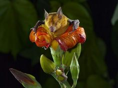 TheCuban flower bat(Phyllonycteris poeyi), also calledPoey's flower bat, is a species ofbatin the familyPhyllostomidae. It is found inCuba, theDominican Republic, andHaiti.