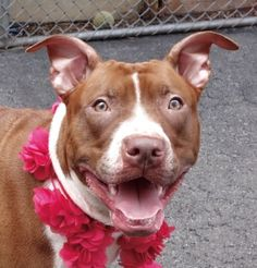Safe 8-2-2016 Manhattan SHEEBA - A1081924 - Manhattan - Publicly Adoptable TO BE DESTROYED 08/01/16 **VICTIM OF NO-SHOW ADOPTER** A volunteer writes: If you are active, have kids or may be another pooch