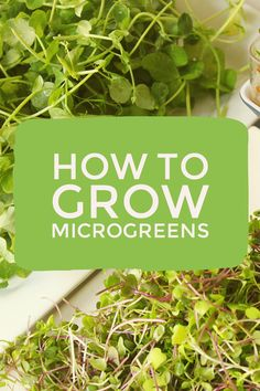 Learn how to grow microgreens. Microgreens are easy to grow. These indoor vegetables grow quickly indoors, making them great for winter gardening. Whether you use them for urban gardening or homesteading, the nutrition in these greens fit any lifestyle.