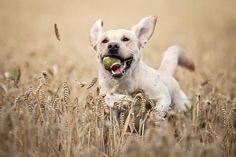"""2º lugar na categoria """"Cachorros Brincando"""" - Simon White do Reino Unido (Foto: Reprodução / The Kennel Club)"""