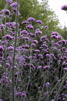 jätteverbena Flower Beds, Perennials, Garden, Flowers, Plants, Summer, Outdoors, House, Garten