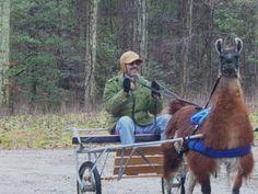 Dreams Farm Llamas Alpacas, Raising, Horses, Dreams, Activities, Animals, Animaux, Horse, Animal