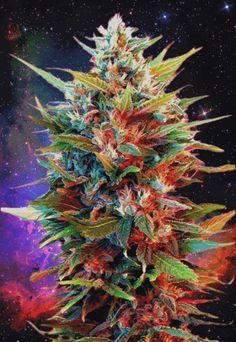 Cannabis #GIF #Kush