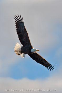 Bald Eagle in flight...