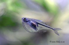 Pygmy Hatchetfish