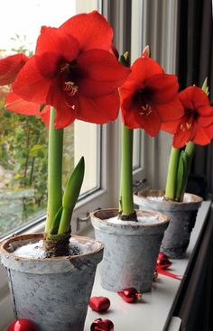 How To Force Bulbs for Gorgeous Indoor Bloom and Color - Traditional Home®. I miss growing Amaryllis at Christmas time! Maybe next year. Garden Bulbs, Home Garden Plants, Planting Bulbs, House Plants, Planting Flowers, Flowers Garden, Bulb Flowers, Red Flowers, Beautiful Flowers