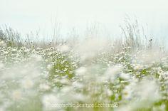 Le champ de marguerites...