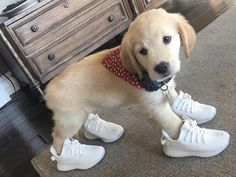http://ift.tt/2uayPWn 10 Karma so heres a picture of a golden retriever puppy wearing yeezys