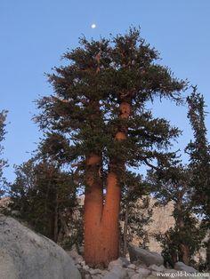 Moonrise Over Tree, California Sierras