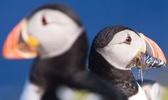 Two puffins, one with a bill full of fish. Puffins face a 'long list of threats' including climate change and impacts on their prey species. Photograph: Murdo MacLeod/the Guardian