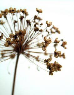 alium | macro | seeds | brown | nature | flower