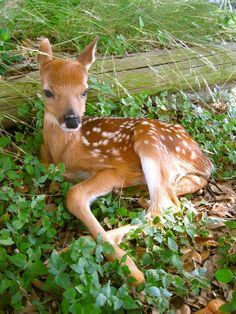 baby fawn. Deer. Cute Animals. www.livewildbefree.com Cruelty Free Lifestyle & Beauty Blog. Twitter & Instagram @livewild_befree